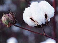 BT cotton crop