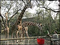 Giraffes at New Orleans zoo