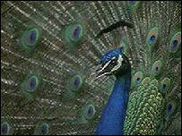 Peacock from BBC Creative Archive