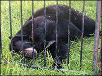 Ming the Canadian black bear [picture by Captive Animals' Protection Society]