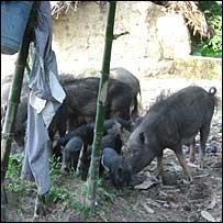 Pigs in Uttar Pradesh