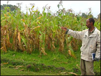 Failing crops in Boricha district, southern Ethiopia