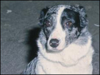 Generic image of a border collie