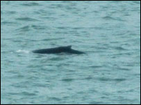 Whale (picture courtesy of The Daily Post)