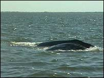 Western gray whale, BBC