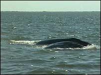 Western gray whale, BBC