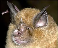 Greater horseshoe bat     Image: Gareth Jones