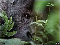 Gorila africano.