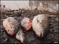 Poisoned fish in Hungary