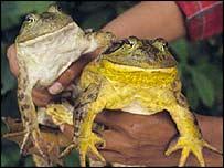American bullfrog     Image: Stephen Price