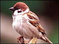 A tree sparrow. Photo courtesy of Richard G Smith.