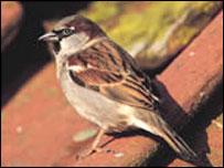 House sparrow : RSPB picture