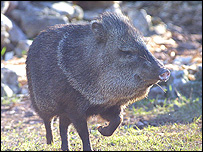 Collared peccary - courtesy of Paignton Zoo