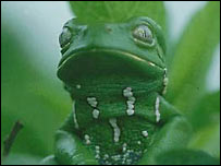 Phyllomedusa frog   (Esteban Lavilla)