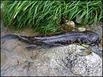 Japanese giant salamander (Andrias japonicus) (Image: Gerry Marantelli)