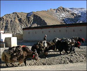 Comerciante tibetano con un grupo de yaks.