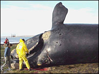 A dead southern right whale, Romina Pozzi