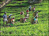 Tea garden workers plucking tea leaves