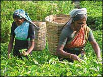 Workers plucking tea leaves in Sri Lanka