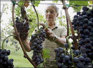 Farmer Luigi Rapaccioli checks grapes on his farm in Travazzano, near Piacenza, northern Italy