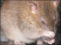 Rats were brought to the islands by sailors 100  years ago