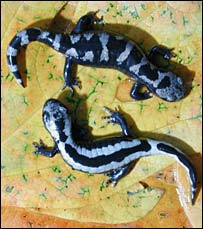 Salamanders (Conservation International/Don Church)