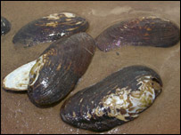 Pearl mussel