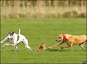 Greyhounds chasing a hare