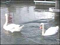 Swans Charles and Camilla
