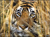 Indian tiger. File photo