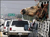 Horses caught in a traffic jam west of Houston, Texas