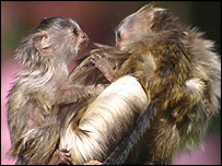 Black-tailed marmosets
