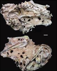 Fossil bones, Dr Asher