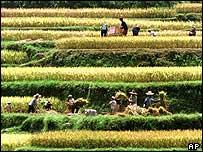 Китайские крестьяне собирают урожай риса
