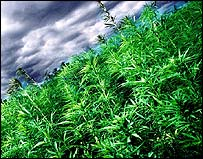Cannabis growing in the field