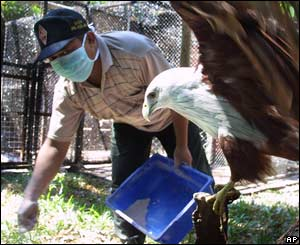 A worker sprinkles disinfectant powder inside an eagle cage at a zoo in Surabaya, East Java, Sept. 26, 2005.