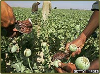 Harvesting opium poppies in Afghanistan