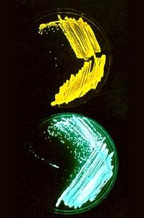 Luminous bacteria (Prof W Hastings/Harvard University Biological Laboratories)