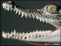 Three-month old saltwater crocodile