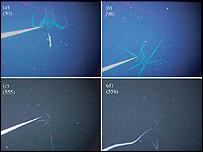 Imágenes del calamar captada por los científicos japoneses