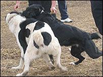 Собачьи бои (Фото автора)