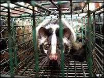 Civet in a cage.  Image: AFP