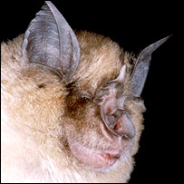 Greater horseshoe bat (Image: J J Kaczanow/Bat Conservation Trust)