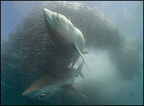 Foto: Doug Perrine. Museo de Historia Natural y BBC Wildlife.