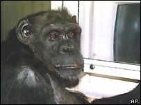 Chimpanzee Ai sits in front of a computer monitor.  Image: AP/Tetsuro Matsuzawa, Kyoto University Primate Research Institute