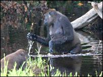 Un gorila atraviesa una piscina en un bosque del Congo.