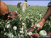 Afghan poppy harvest 2005