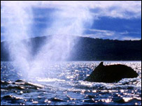 Humpback whale, AP