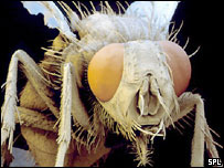 Populations of the housefly (Musca domestica) could rise across the UK.  Image: Science Picture Library