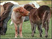 Moor ponies